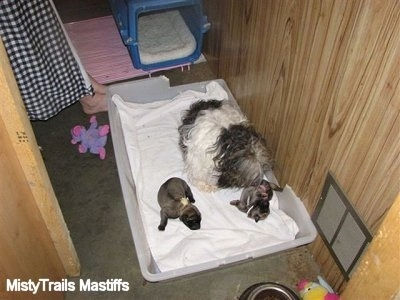 Catreeya the Havanese Dam Fostering English Mastiff Puppies