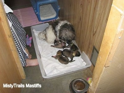 Catreeya the Havanese dam foster mom staying with puppies