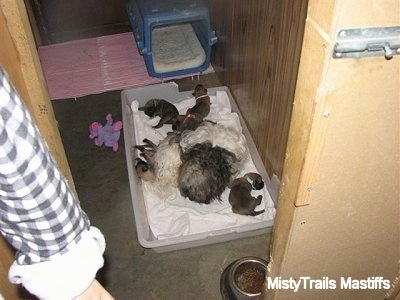 Catreeya the Havanese Dam Foster mom sleeping with the Puppies