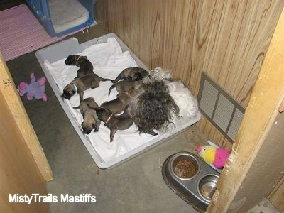 Catreeya the Havanese dam foster mom laying in the corner with the Puppies following it