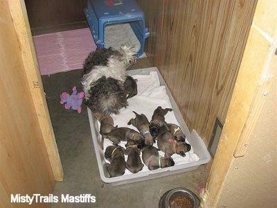 Catreeya the Havanese Dam Foster mom surrounded by puppies