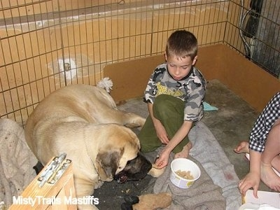Kayden (the Boy) feeding Sassy the English Mastiff Dam