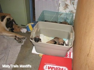 Sassy the English Mastiff laying down next to her puppies who are in plastic bins