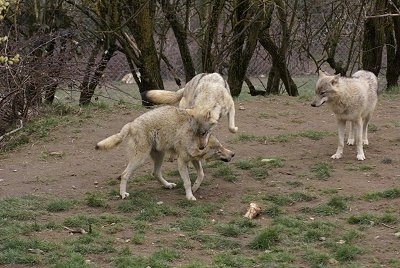 Two Wolves playing and One Wolf watching from the right of them.