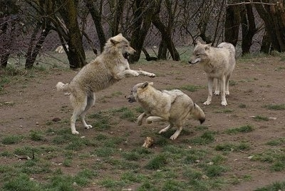One Wolf jumping at a cowering Wolf and a Wolf watching in the background