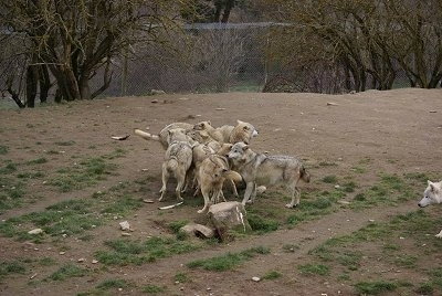 A pack of wolves playing