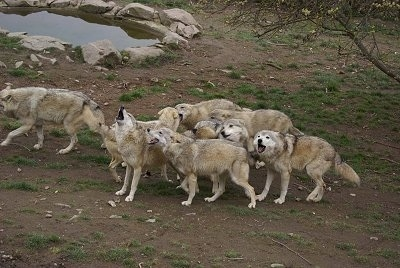 A Pack of Wolves Howling