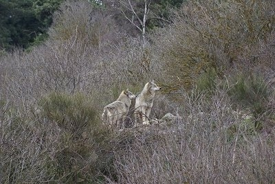 The front right side of Two Wolves standing on a rock surrounded by lots of trees