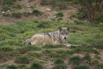 The right side of a Wolf that is laying in the grass