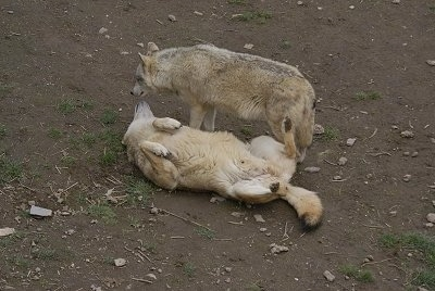 One Wolf laying on its back with Another Wolf standing to the right of it
