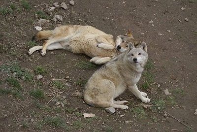 One Wolf laying on its side and another Wolf is sitting next to it.