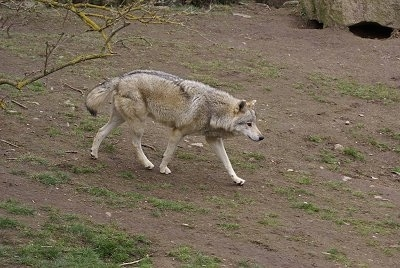 The front right side of a grey Wolf walking across a dirt hill.