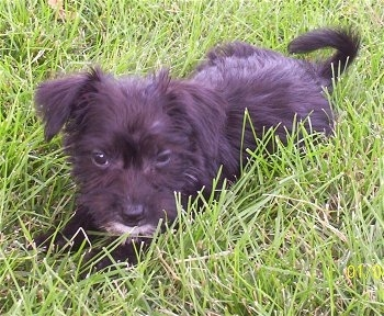 Lucy the Bichon Yorkie Puppy laying in grass