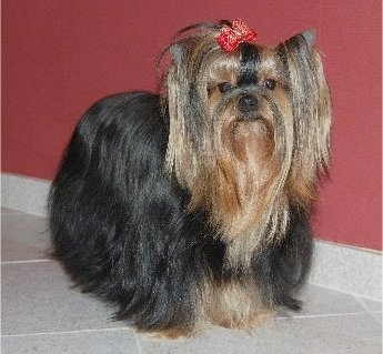 The front right side of a black with brown Yorkshire Terrier dog standing across a tiled floor in front of a burgundy wall and it is wearing a red bow in its very long thick hair. It has perk ears, round dark eyes and a black nose. The bow is holding the hair out of the dog's eyes.