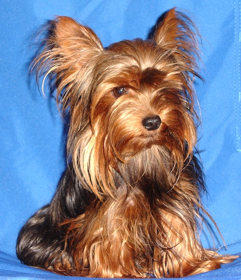 A long coated, black and golden-brown Yorkshire Terrier dog sitting on a blue background looking down. The dog has large perk ears with longer hair fringing from them and long hair coming from its face. It has a thick long coat a black nose and brown eyes.
