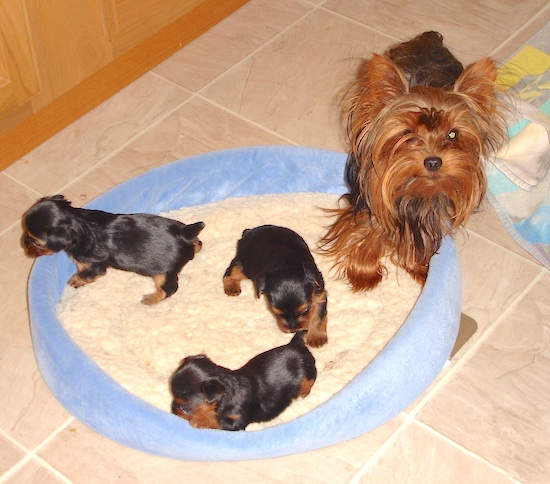 A black with brown Yorkshire Terrier is partially standing on a dog bed and there are three Yorkie puppies standing inside of the dog bed.