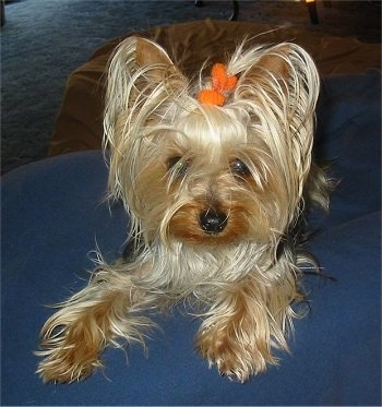 Muffy, the Yorkie at 3 years old