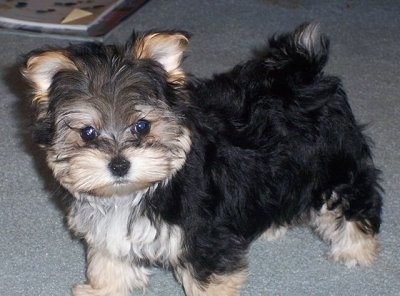 Maltese Puppies on Petie The Yorktese  Yorkie   Maltese Hybrid  At One Year Old   Bred