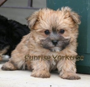 A tiny thick coated, tan Yorktese puppy sitting on a concrete porch and to the right of it is a green box. It is looking down. It has wide black eyes and a small black nose. The words - Sunrise Yorktese - are overlayed. It looks like a stuffed toy.