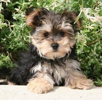 Yorktese Dog Breed Pictures 1