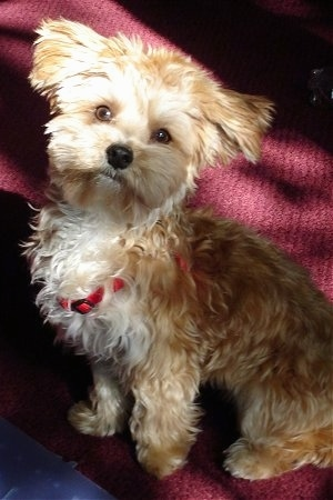 Petie, the Yorktese (Yorkie / Maltese Hybrid) at one year old. Bred by Sunrise Kennel