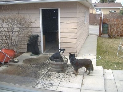 Crash, a Border Collie / Lab  and Zoe, a Border Collie / Shepherd mix getting into the dirt flower bed