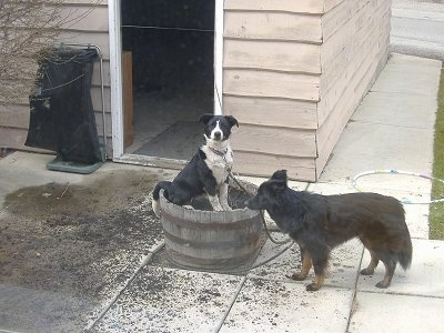 Crash the Border Collie/Lab and Zoe the Border Collie/Shepherd mix getting into a large pot full of dirt outside on a patio. Crash is sitting in the pot and Zoe is standing next to it.
