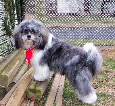 Bear, the Shih-Tzu / Bichon Frise at 10 months old (Zuchon also called a Shichon)