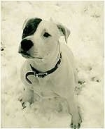 The front left side of a white with black American Pit Bull Terrier is sitting in the snow and it is looking up.