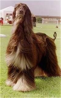 The front left side of a black with gray Afghan Hound that is standing in a field with its hair moving in the wind