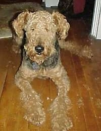 A black with tan Airedale Terrier is laying on a wood floor and it is looking forward.