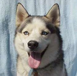 Close Up - Boris the blue-eyed Siberian Husky is sitting looking happy with his mouth open and tongue out