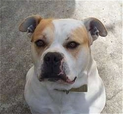 Close up - A top down view of a white with tan American Bulldog that is sitting on a concrete surface and it is looking up.