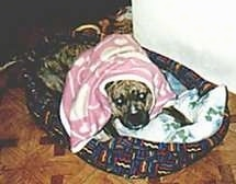 A brown brindle American Staffordshire Terrier is laying down in a dog bed with a pink blanket covering its head