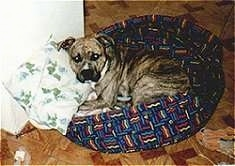 The left side of a brown brindle American Staffordshire Terrier that is laying in a dog bed and it is looking forward.
