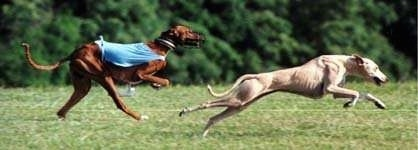 Two Azawakh Hounds are in motion running through a field.