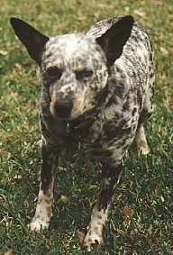 The front left side of a black and white Australian Cattle Dog that is standing in a lawn and it is looking forward.