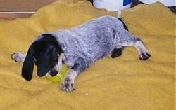 Bluetick Coonhound Puppy playing with a tennis ball while laying on a yellow blanket