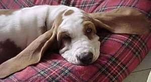 Basset Hound laying on a dog bed with its ears spread out to the sides