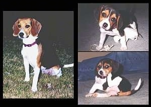 A collage of pictures - Right side - A picture of Dixie the Beagle sitting - Upper Left - Dixie the Beagle as a puppy sitting on a carpet with rope in front of it and its head tilted to the left - Bottom Left - Dixie the Beagle sitting down next to a persons leg scratching her ear