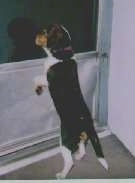 Harley D' Davidson the Beagle jumping up at a screen door