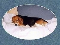 Sadie Mae the Beagle sleeping on the bed with an oval overlay around her