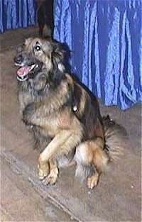 Belgian Tervuren sitting in front of a blue covered table with one paw in the air with its head down