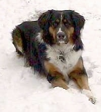 Larry the Bernese Mountain Dog laying in snow