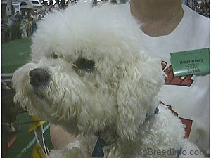 Close Up head shot - Bichon Frise looking to the right at a dog show