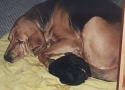 Belle the Bloodhound laying on a blanket with Misty the Havanese Puppy