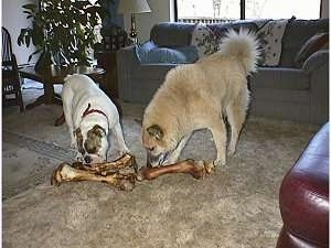 A Bulldog and a Husky Shepherd mixed breed dog are standing on a carpet and chewing on very large dog bones in a living room. The Bulldog has two bones, the Husky mix has one bone.