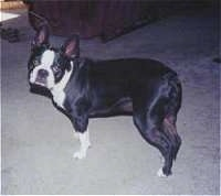 Boston Terrier standing on a carpet looking at the camera holder