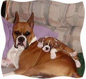 A full grown Boxer laying on a couch and a Boxer puppy sleeping on top of her back