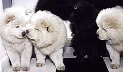 Two white Chow Chow puppies are face to face. A black Chow Chow puppy is looking behind it. A third white Chow Chow is looking over at the other two white Chow Chow puppies. They are all standing on a black and white checkered pattern floor